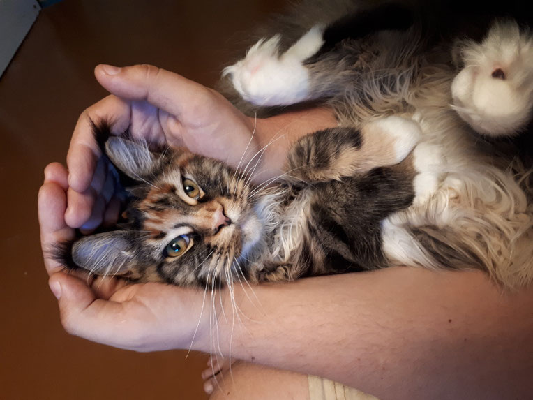 Yummy Oldbluz кошка мейнкун красный мраморный черепаховый с белым (f 22 09)