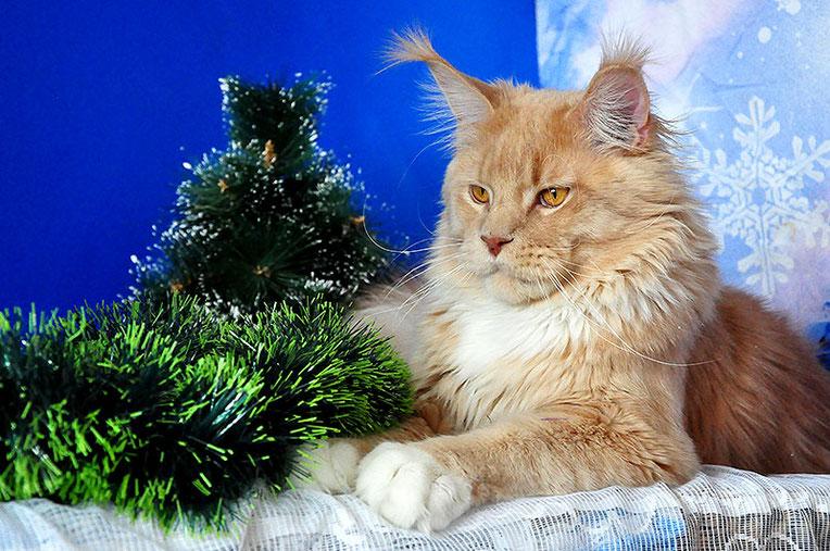 Rascoon Elf 10 months кремовый с белым кот мейн-кун MCO e 09 (03)