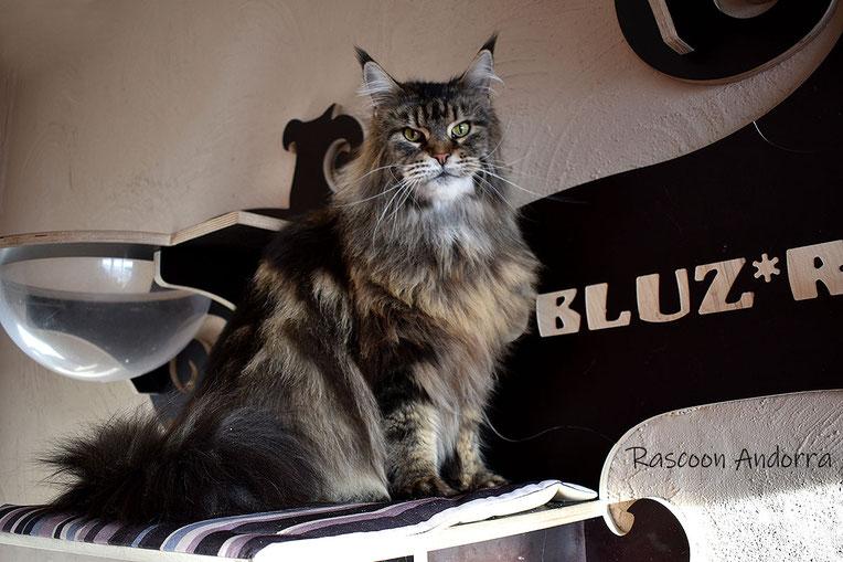 Rascoon Andorra кошка мейн кун черная мраморная MCO n 22