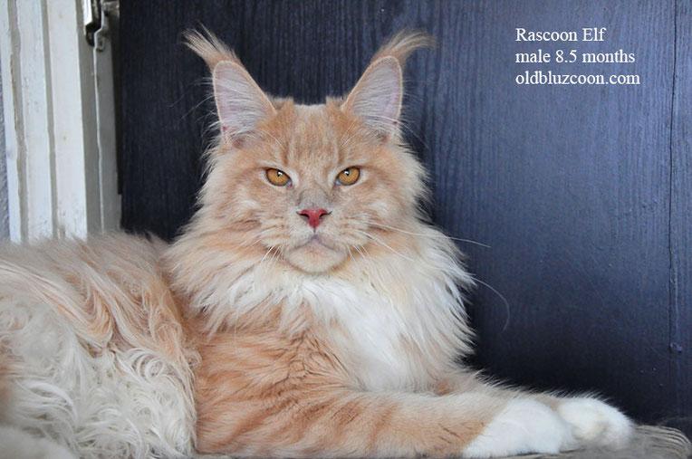 Rascoon Elf 8.5 months кремовый с белым кот мейн-кун MCO e 09 (03)