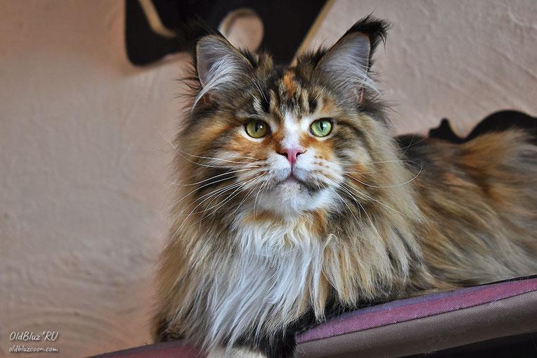 D`Iskra Oldbluz кошка мейн кун черная пятнистая черепаховая с белым MCO f 24 09