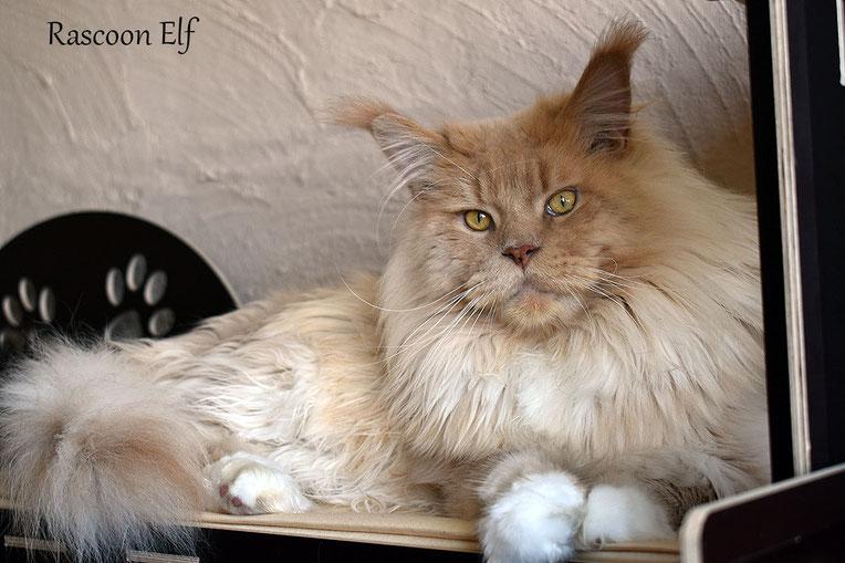 Rascoon Elf кремовый с белым кот мейн-кун MCO e 09 (03)