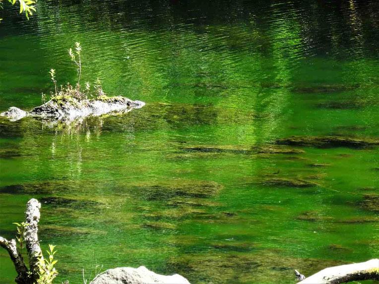 柳沼にかかる橋の反対側には緑の藻がしげる沼があります