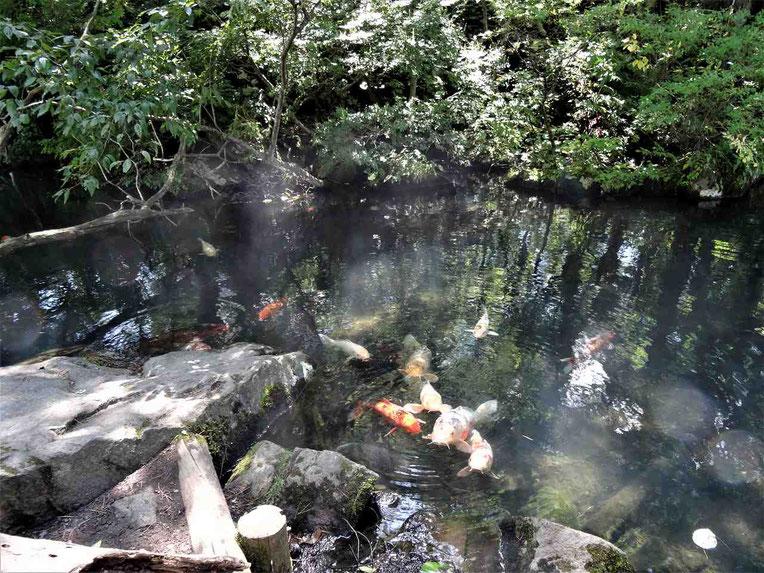 毘沙門沼の周囲を歩くと浅瀬にたくさんの錦鯉が集まっているポイントがあります