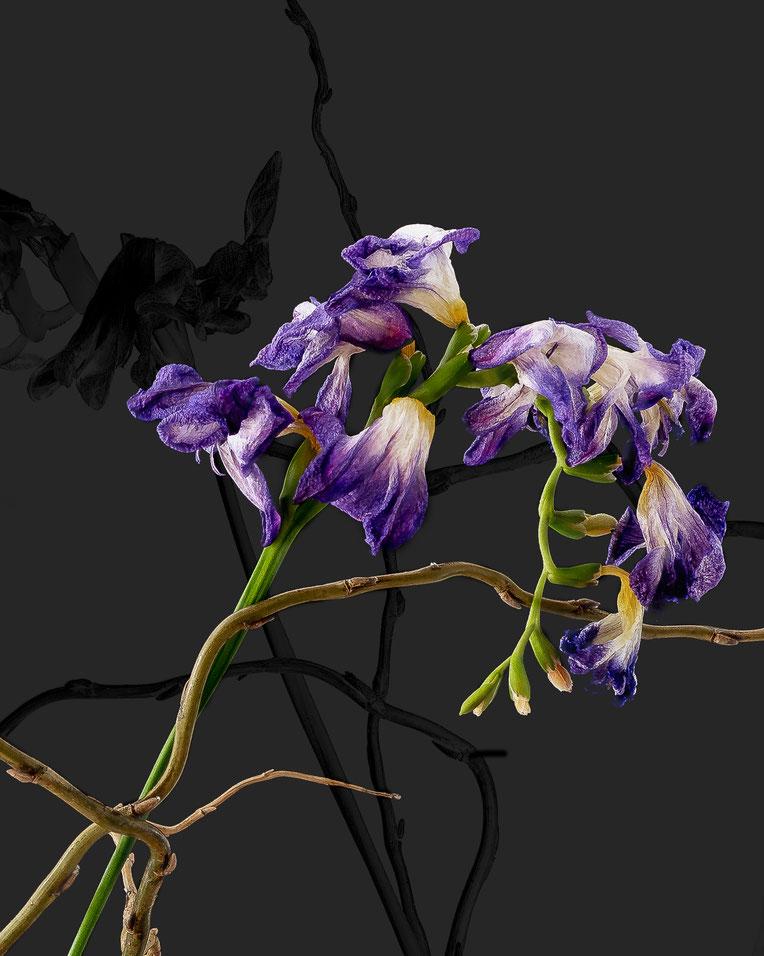 "© Bernd Pirschtat - ArtConnect - April 2018 - ""Freesia hybride japonica"""