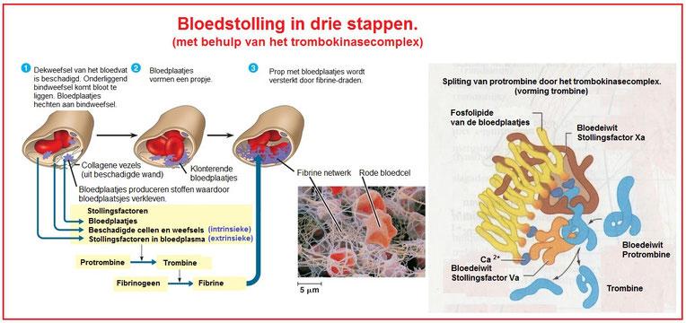 de fasen van hemostase, bloedstolling