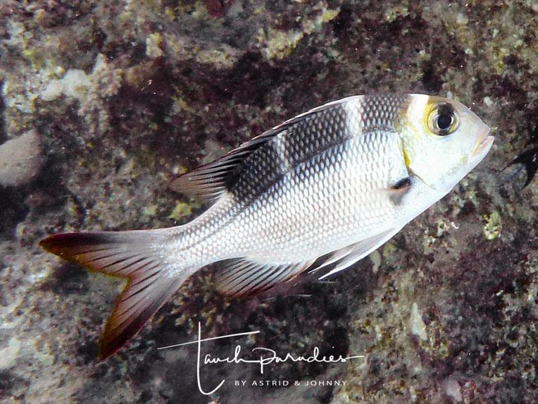Jungfisch