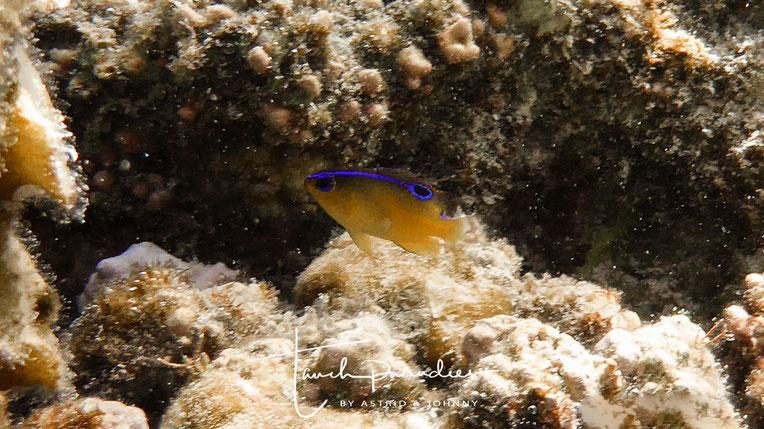 Jungfisch ( ähnelt in dieser Form sehr der Dreilinien - Demoiselle )
