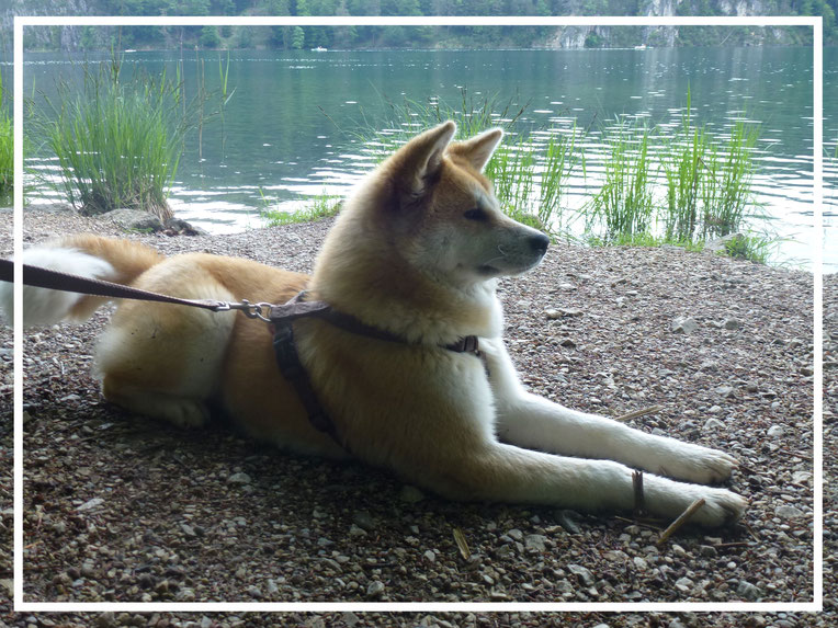 Japan Akita, Umeko of Kishi Ken, Hund, Zucht, Hundezucht, Neuschwanstein, Allgäu, Alpsee, Schloß Hohenschwangau