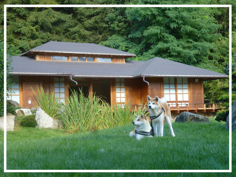 Japan Akita, Umeko of Kishi Ken, Rosia Kara Eikan, Hund, Zucht, Hundezucht, Bonsai Garten, Bonsaimuseum, Seeboden, Kärnten, Österreich