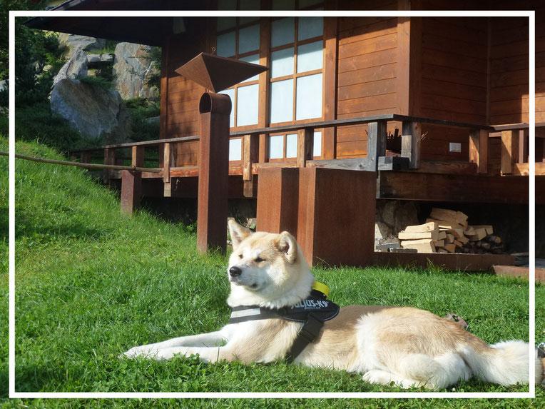 Japan Akita, Umeko of Kishi Ken, Hund, Zucht, Hundezucht, Bonsai Garten, Bonsaimuseum, Seeboden, Kärnten, Österreich