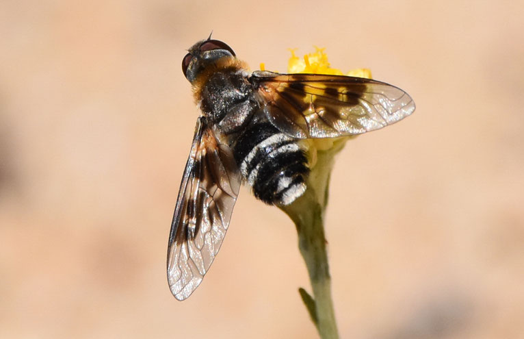 Mottled Bee-Fly