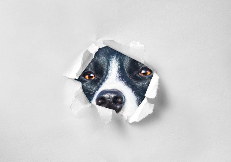 Ein Border Collie guckt durch ein Loch im Papier.