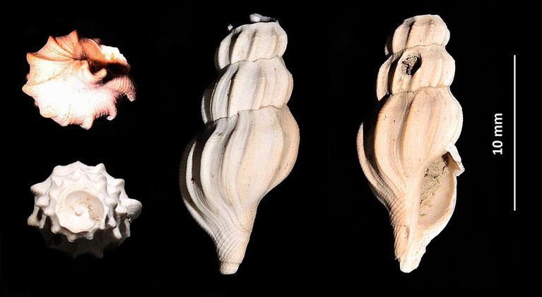 Bela columnae, Quattro Castella (RE), senza parte apicale