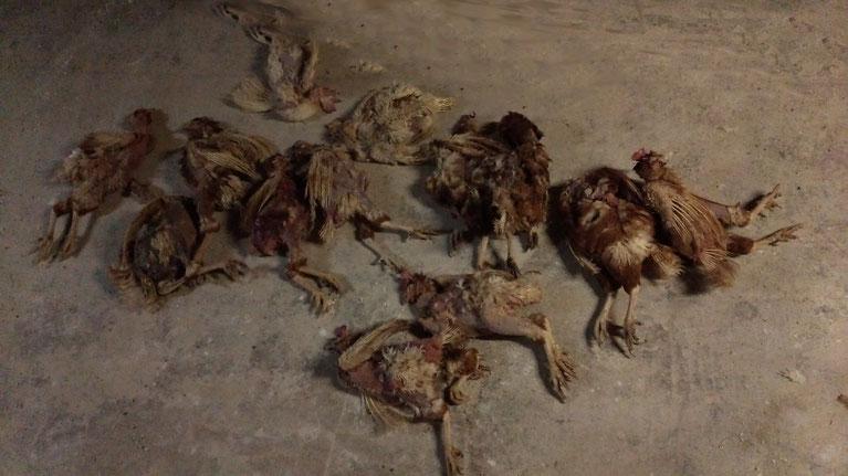 2015年日本の養鶏場 強制換羽で死亡した鶏たち