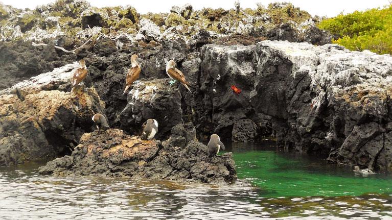 Blaufußtölpel, die Rote Klippenkrabbe und Galapagos-Pinguine <3