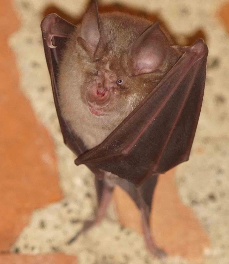 I pipistrelli  del genere Rinolofo (Rhinolophus ferrumequinum) protetti nell'Infernot Callori