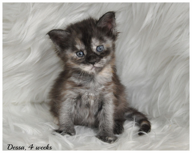 Female Maine Coon Kittens for Sale in Kansas and Missouri