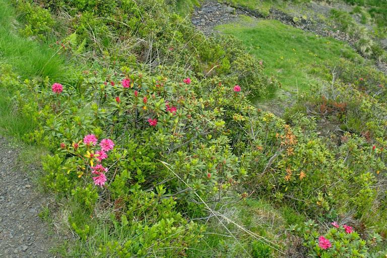 A 1500m les rhododendrons sont en fleur.