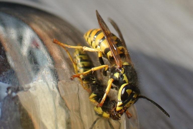 Was hilft gegen Wespen und Fruchtfliegen