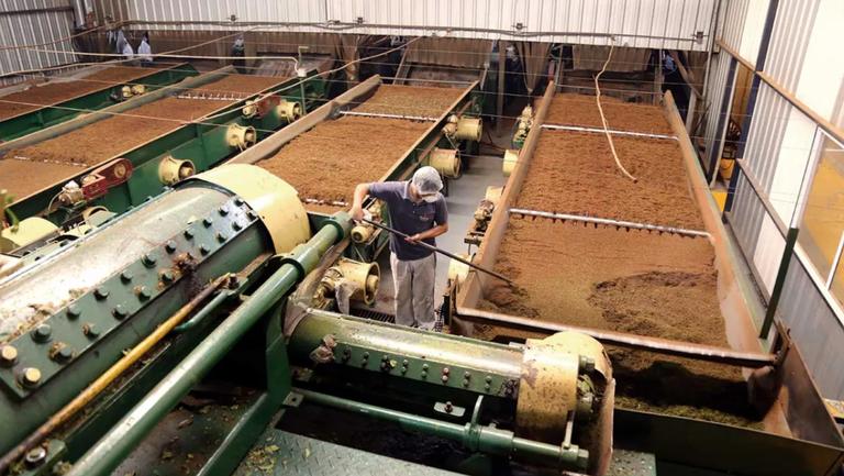 La cadena productiva del té cuenta con muchos eslabones. Fotos: Natalia Guerrero