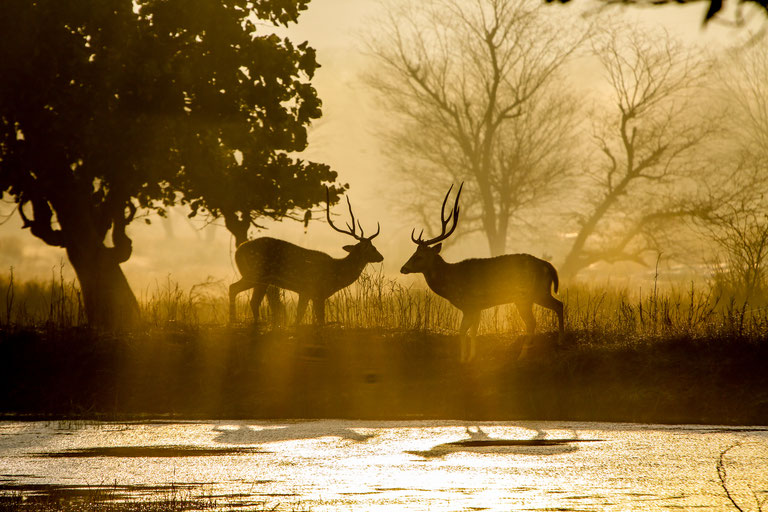 Two spotted deer during sunset at Ranthambore National Park in India