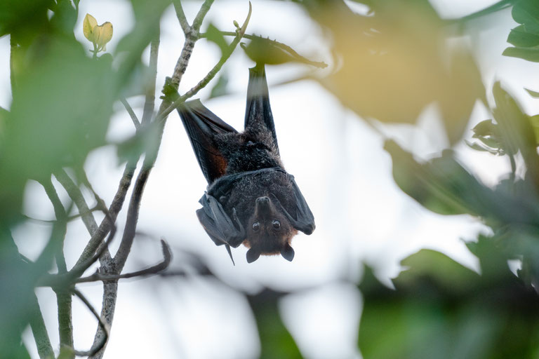 Flying fox hanging upside down in Townsville, Australia