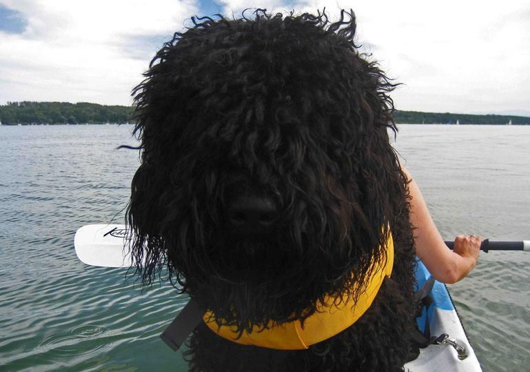 26.07.15: Eching am Ammersee: Heute war ich wieder auf dem See, beim Padeln. Es geht immer besser. Nachdem ich das mit dem Schwimmen hinbekommen habe, darf ich auch mit auf´s Kajak. Es ist ein Sit-on-top-Kajak, da kann ich prima mitfahren.
