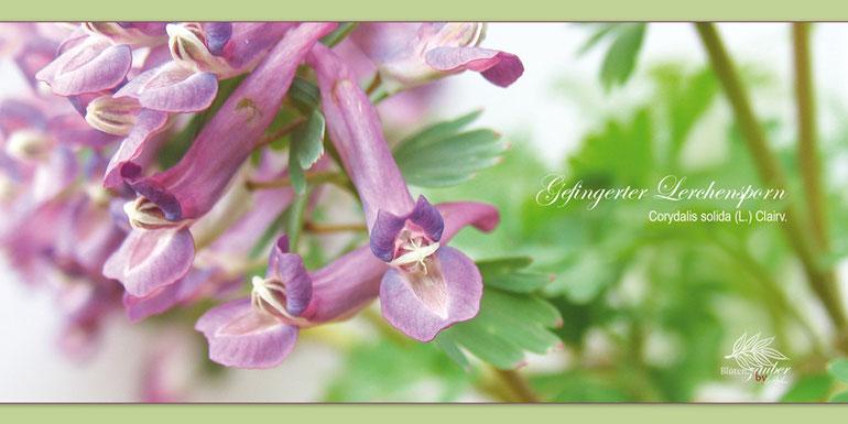 Blüten des gefingerten Lerchensporns