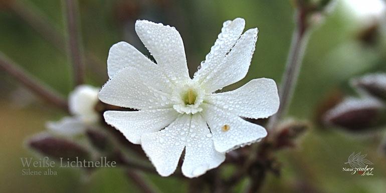 Blüte der Weißen Lichtnelke ©Eschenblatt-Verlag