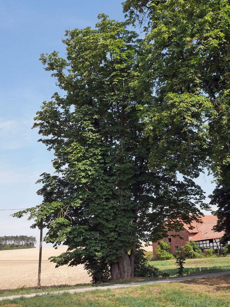 Kastanie in einer Kastanienallee beim Gut Wagenbuch bei Wertheim
