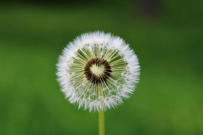 Lieber glücklich mit Leichtigkeit - Löwenzahn (Fotoquelle: pixabay.com @Kranich17)