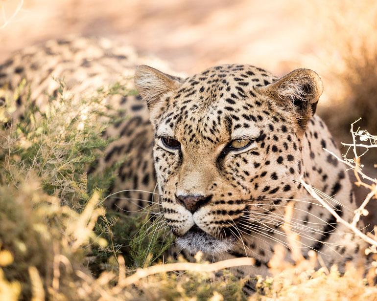 Namibia Memos 2017 - Der 2-Augen-Leopard :: Copyright Martin Schmidt, Fotograf für Schwarz-Weiß Fine-Art Architektur- und Landschaftsfotografie aus Nürnberg