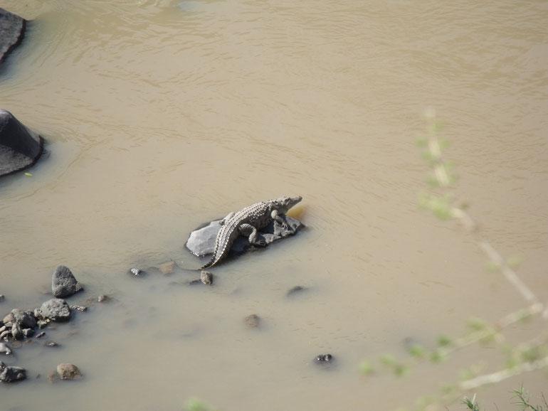 Ici un habitué de la rivière Awash, toujours dans le parc près de la ville du même nom.