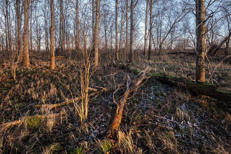 Lebensraum des Scharlachroten Plattkäfers (Cucujus cinnaberinus) im Havelland bei Nauen.