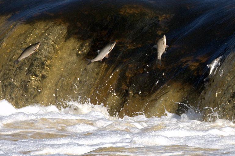 Ventos krioklyje pavasarį ir rudenį šokinėja žiobriai ir lašišos / Foto: Artis Gustovskis
