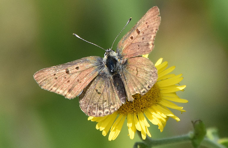 Sooty Copper Butterfly