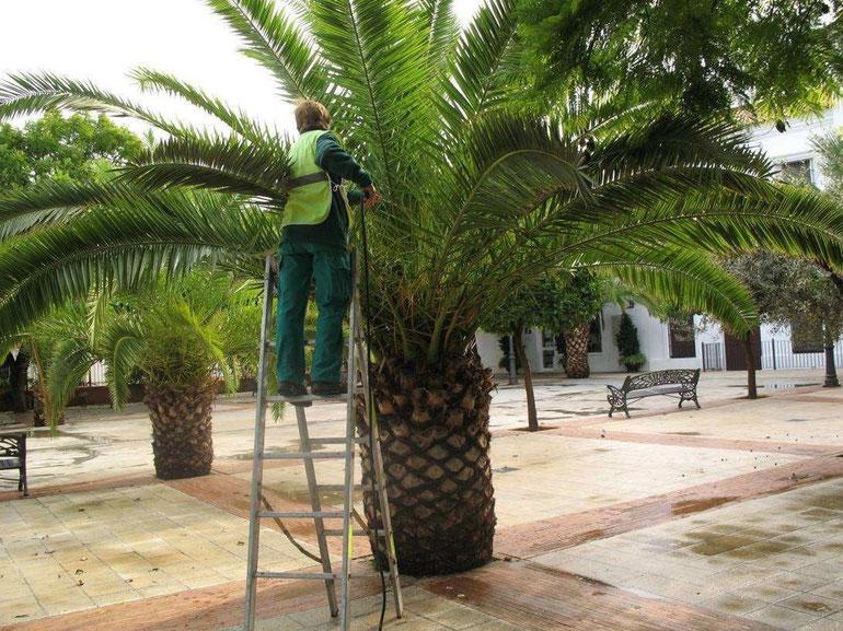 tratamiento de picudo rojo de las palmeras