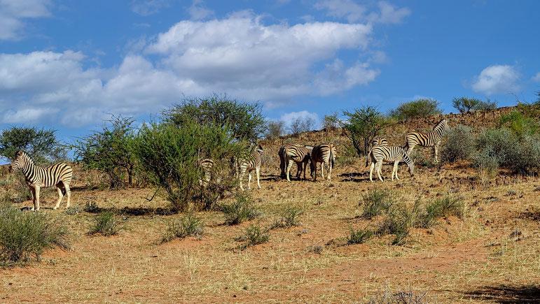 Zèbres aux aguets, désert du Kalahari