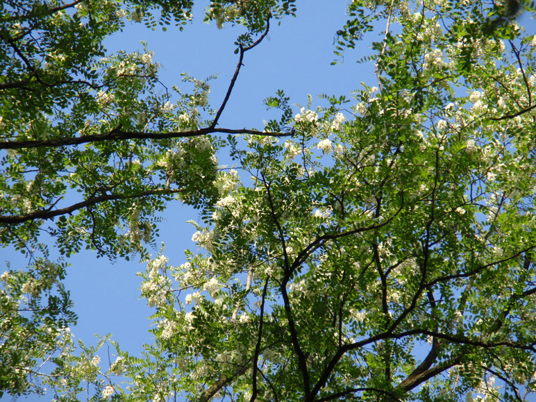Die weißen Blüten der Ebereschen bilden einen hübschen Kontrast zum Grün der Blätter und dem Blau des Himmels