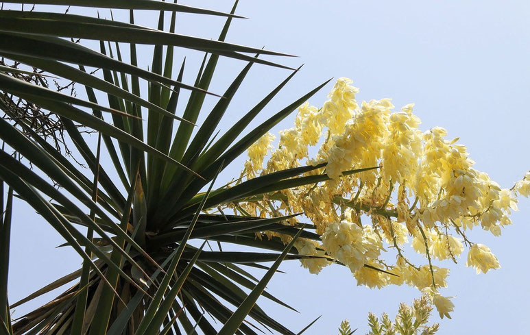Bild Yucca grandiflora (c) Dr. Christian Zolles