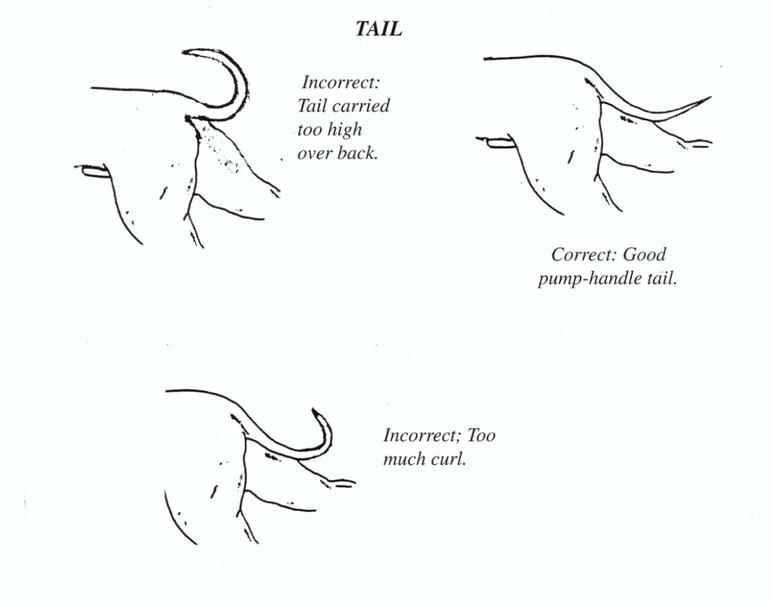 Coda Staffordshire Bull Terrier