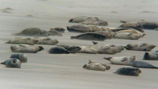 Phoques et oiseaux en baie de Somme avec Maxim votre guide nature
