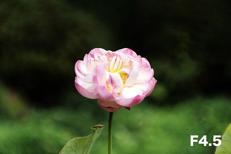 Leica M-P type240 ライカ タンバールM F2.2/90mmLeica Thambar M F2.2/90mm ハス lotus