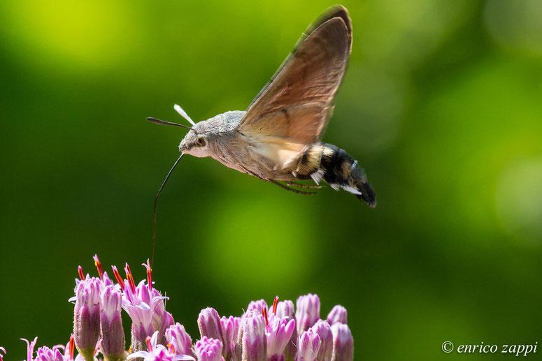 La sfinge del galio (Macroglossum stellatarum Linnaeus, 1758), detta anche sfinge colibrì per il suo modo di bottinare i fiori, s'incontra in questo periodo molto frequentemente nelle radure, nei prati e nei giardini fioriti.