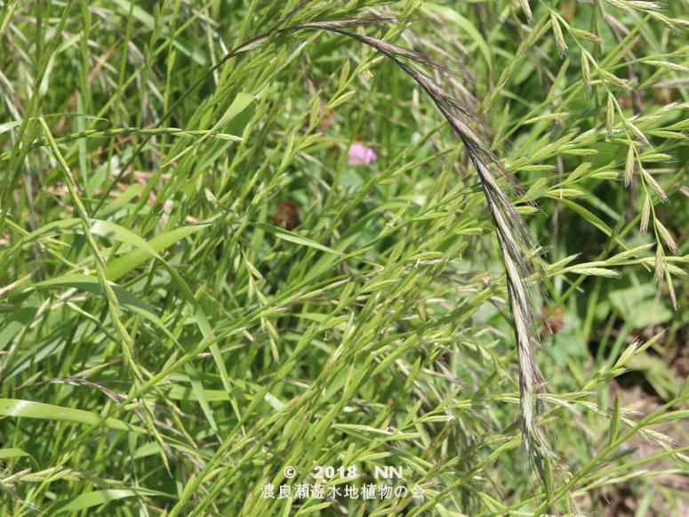 渡良瀬遊水地に生育するカモジグサの全体画像と説明文書