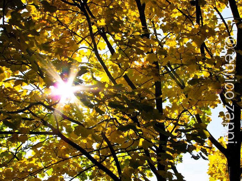 Il sole sbircia fra le fronde dorate di un acero