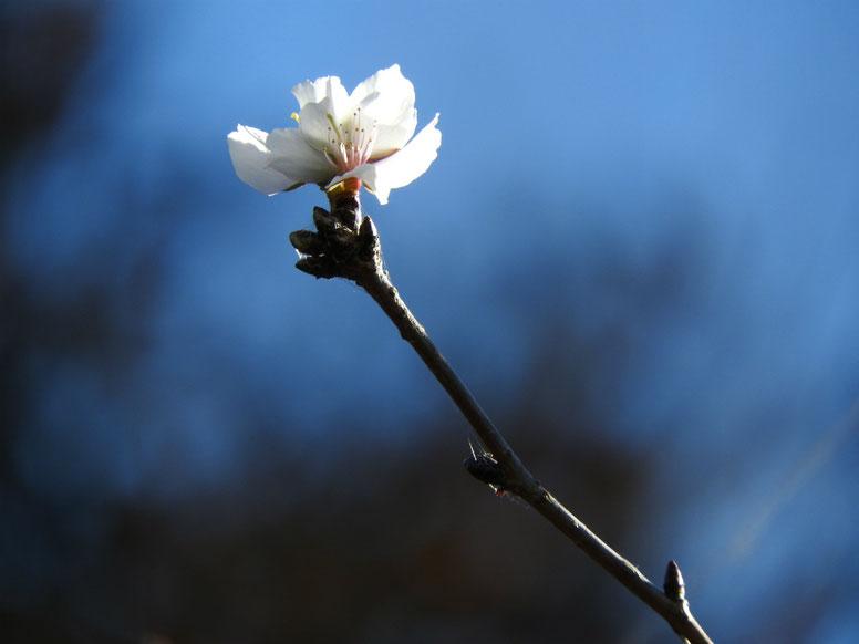 冬桜 鎌倉浄妙寺