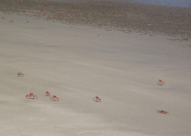 Red crabs, Cabo Blanco, Peru