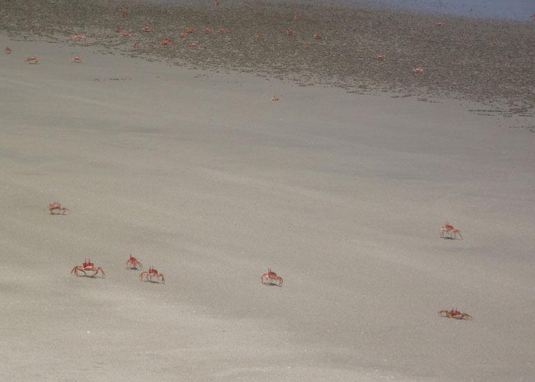 Red crabs, Cabo Blanco, Peru